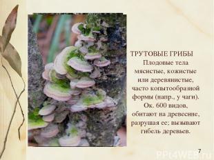 ТРУТОВЫЕ ГРИБЫ Плодовые тела мясистые, кожистые или деревянистые, часто копытооб