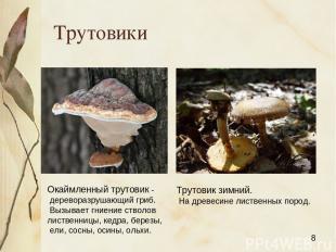 Трутовики Окаймленный трутовик - дереворазрушающий гриб. Вызывает гниение стволо