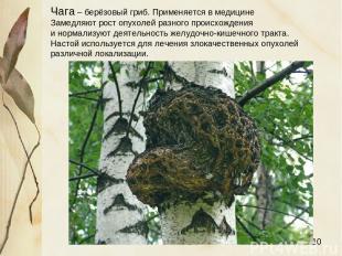 Чага – берёзовый гриб. Применяется в медицине Замедляют рост опухолей разного пр