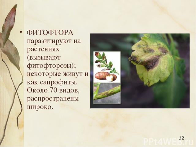 ФИТОФТОРА паразитируют на растениях (вызывают фитофторозы); некоторые живут и как сапрофиты. Около 70 видов, распространены широко. Яковлева Л.А.