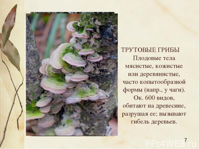 ТРУТОВЫЕ ГРИБЫ Плодовые тела мясистые, кожистые или деревянистые, часто копытообразной формы (напр., у чаги). Ок. 600 видов, обитают на древесине, разрушая ее; вызывают гибель деревьев. Яковлева Л.А.