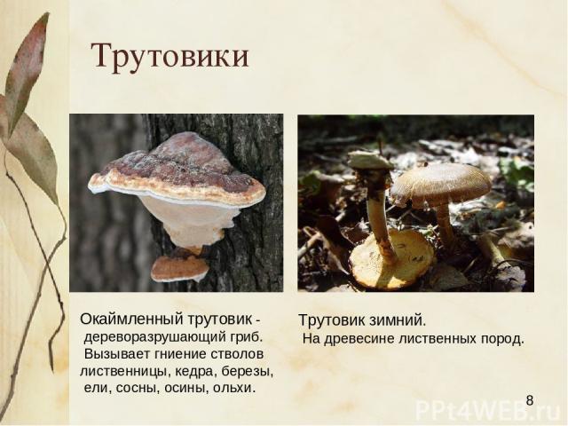 Трутовики Окаймленный трутовик - дереворазрушающий гриб. Вызывает гниение стволов лиственницы, кедра, березы, ели, сосны, осины, ольхи. Трутовик зимний. На древесине лиственных пород. Яковлева Л.А.