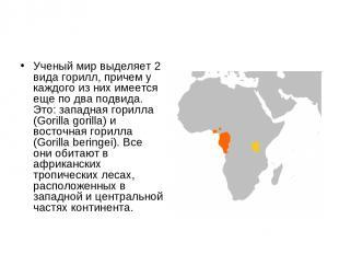 Ученый мир выделяет 2 вида горилл, причем у каждого из них имеется еще по два по