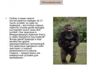Сейчас в мире горилл насчитывается порядка 16-17 тысяч особей, но один из подвид