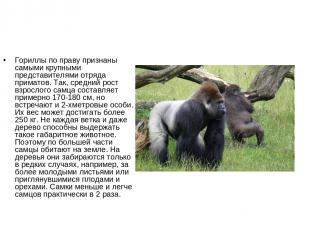 Гориллы по праву признаны самыми крупными представителями отряда приматов. Так,