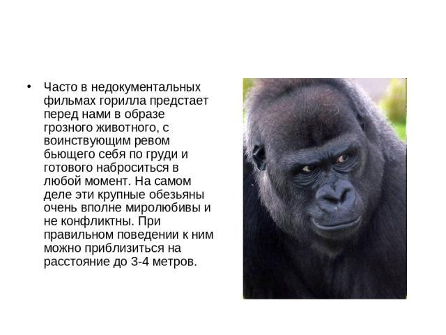 Часто в недокументальных фильмах горилла предстает перед нами в образе грозного животного, с воинствующим ревом бьющего себя по груди и готового наброситься в любой момент. На самом деле эти крупные обезьяны очень вполне миролюбивы и не конфликтны. …