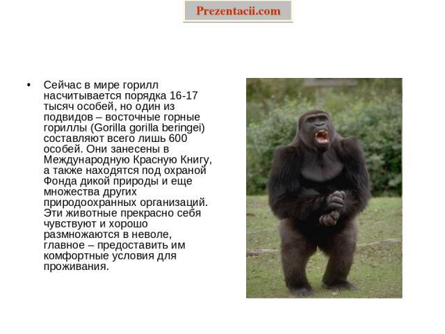 Сейчас в мире горилл насчитывается порядка 16-17 тысяч особей, но один из подвидов – восточные горные гориллы (Gorilla gorilla beringei) составляют всего лишь 600 особей. Они занесены в Международную Красную Книгу, а также находятся под охраной Фонд…