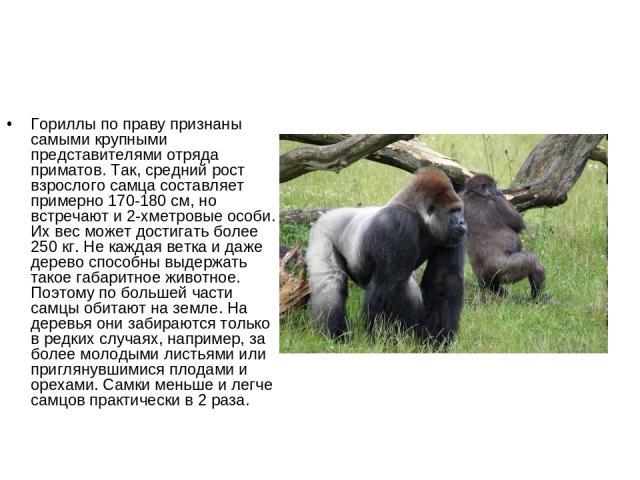 Гориллы по праву признаны самыми крупными представителями отряда приматов. Так, средний рост взрослого самца составляет примерно 170-180 см, но встречают и 2-хметровые особи. Их вес может достигать более 250 кг. Не каждая ветка и даже дерево способн…