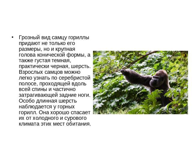Грозный вид самцу гориллы придают не только его размеры, но и крупная голова конической формы, а также густая темная, практически черная, шерсть. Взрослых самцов можно легко узнать по серебристой полосе, проходящей вдоль всей спины и частично затраг…