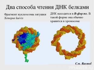 Два способа чтения ДНК белками Фрагмент нуклеосомы лягушки Xenopus laevis См. Ra