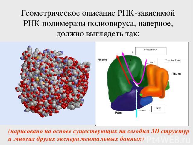 Геометрическое описание РНК-зависимой РНК полимеразы полиовируса, наверное, должно выглядеть так: (нарисовано на основе существующих на сегодня 3D структур и многих других экспериментальных данных)