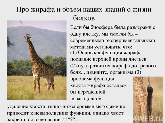 Про жирафа и объем наших знаний о жизни белков (1) Основная функция жирафа – поедание верхней кроны листьев (2) путь развития жирафа до зрелого белк.., извините, организма (3) проблема функции хвоста жирафа осталась бы нерешенной и загадочной: Если …