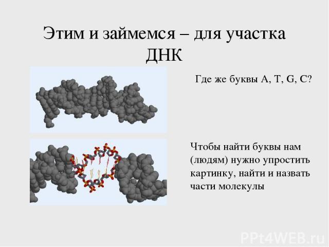 Этим и займемся – для участка ДНК Где же буквы A, T, G, C? Чтобы найти буквы нам (людям) нужно упростить картинку, найти и назвать части молекулы