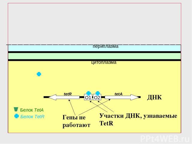 O2 O1 Белок TetR периплазма цитоплазма tetR tetA Белок TetA ДНК Гены не работают Участки ДНК, узнаваемые TetR