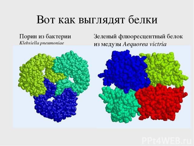 Вот как выглядят белки Порин из бактерии Klebsiella pneumoniae Зеленый флюоресцентный белок из медузы Aequorea victria