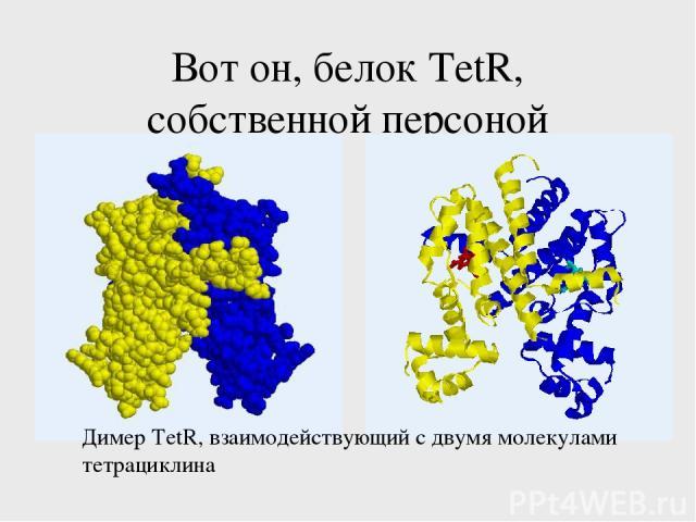 Вот он, белок TetR, собственной персоной Димер TetR, взаимодействующий с двумя молекулами тетрациклина