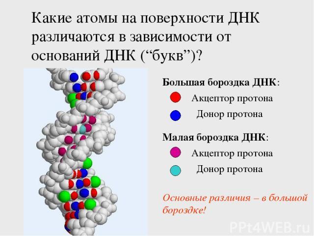"""Какие атомы на поверхности ДНК различаются в зависимости от оснований ДНК (""""букв"""")? Акцептор протона Донор протона Большая бороздка ДНК: Акцептор протона Донор протона Малая бороздка ДНК: Основные различия – в большой бороздке!"""