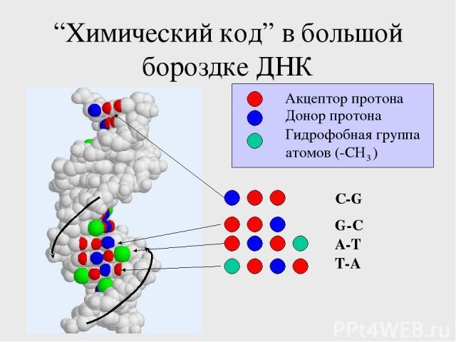 """""""Химический код"""" в большой бороздке ДНК A-T T-A G-C C-G Акцептор протона Донор протона Гидрофобная группа атомов (-CH3 )"""
