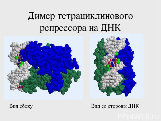 Димер тетрациклинового репрессора на ДНК Вид сбоку Вид со стороны ДНК