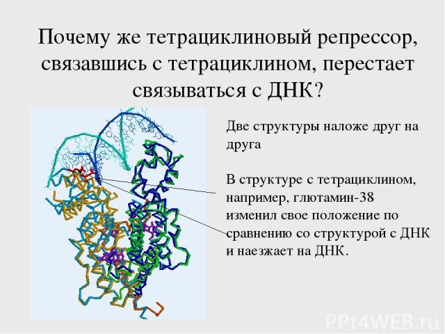 Почему же тетрациклиновый репрессор, связавшись с тетрациклином, перестает связываться с ДНК? Две структуры наложе друг на друга В структуре с тетрациклином, например, глютамин-38 изменил свое положение по сравнению со структурой с ДНК и наезжает на ДНК.
