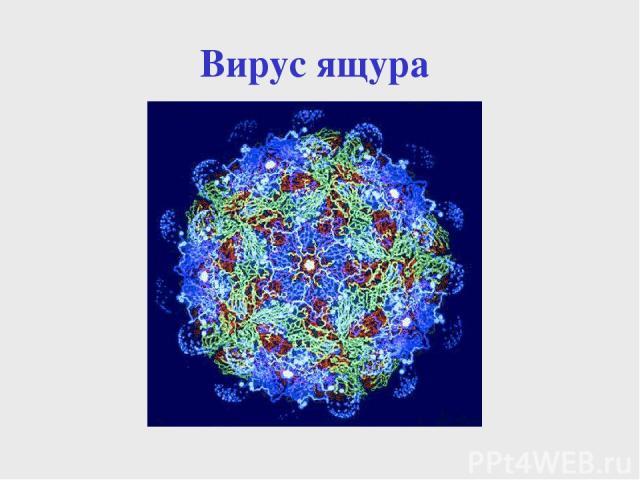 Вирус ящура