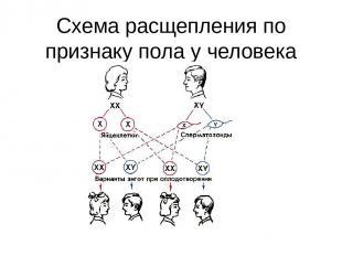 Схема расщепления по признаку пола у человека