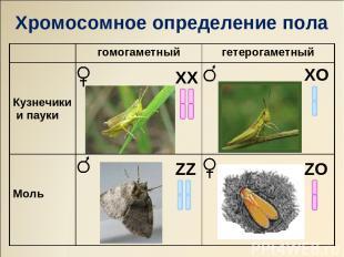 ХХ ZZ ХO ZO Хромосомное определение пола гомогаметный гетерогаметный Кузнечики и