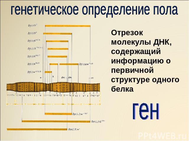 Отрезок молекулы ДНК, содержащий информацию о первичной структуре одного белка