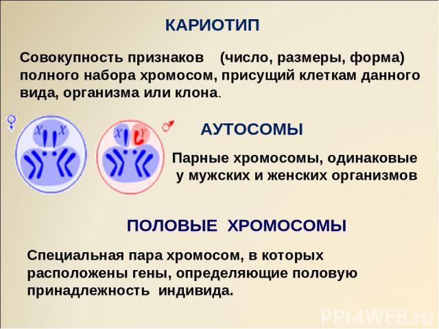 АУТОСОМЫ ПОЛОВЫЕ ХРОМОСОМЫ КАРИОТИП Совокупность признаков (число, размеры, форма) полного набора хромосом, присущий клеткам данного вида, организма или клона. Парные хромосомы, одинаковые у мужских и женских организмов Специальная пара хромосом, в …