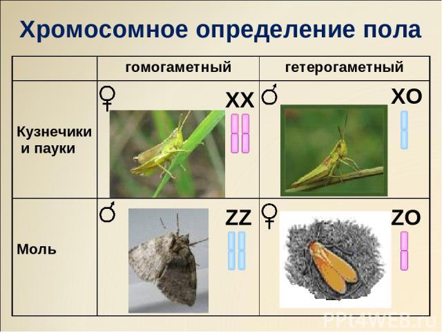 ХХ ZZ ХO ZO Хромосомное определение пола гомогаметный гетерогаметный Кузнечики и пауки Моль