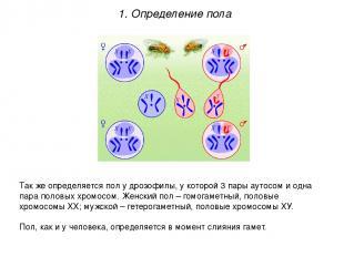 Так же определяется пол у дрозофилы, у которой 3 пары аутосом и одна пара половы