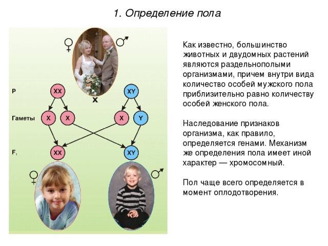 1. Определение пола Как известно, большинство животных и двудомных растений являются раздельнополыми организмами, причем внутри вида количество особей мужского пола приблизительно равно количеству особей женского пола. Наследование признаков организ…