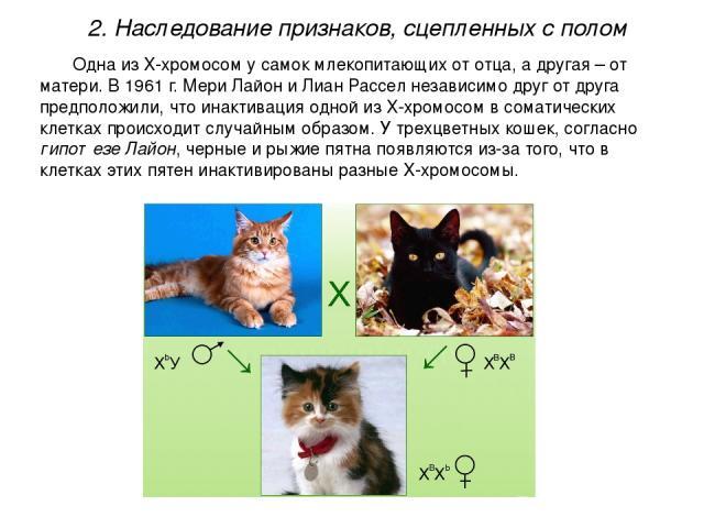 Одна из Х-хромосом у самок млекопитающих от отца, а другая – от матери. В 1961 г. Мери Лайон и Лиан Рассел независимо друг от друга предположили, что инактивация одной из Х-хромосом в соматических клетках происходит случайным образом. У трехцветных …