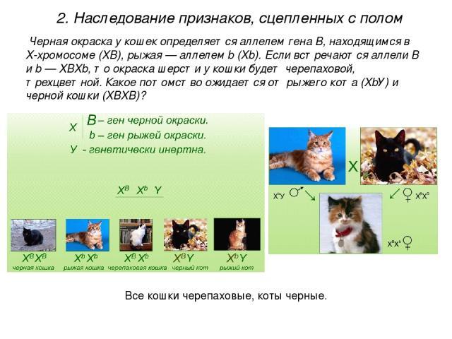 Черная окраска у кошек определяется аллелем гена В, находящимся в Х-хромосоме (XВ), рыжая — аллелем b (Xb). Если встречаются аллели В и b — XВXb, то окраска шерсти у кошки будет черепаховой, трехцветной. Какое потомство ожидается от рыжего кота (XbУ…