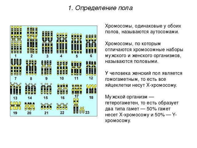 Хромосомы, одинаковые у обоих полов, называются аутосомами. Хромосомы, по которым отличаются хромосомные наборы мужского и женского организмов, называются половыми. У человека женский пол является гомогаметным, то есть все яйцеклетки несут Х-хромосо…