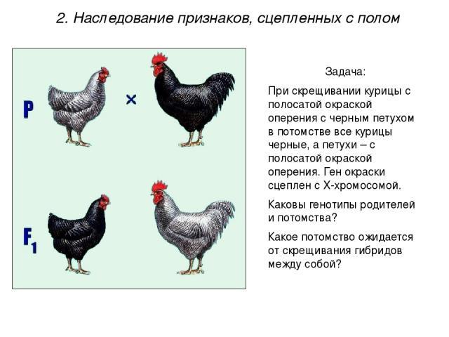 Задача: При скрещивании курицы с полосатой окраской оперения с черным петухом в потомстве все курицы черные, а петухи – с полосатой окраской оперения. Ген окраски сцеплен с Х-хромосомой. Каковы генотипы родителей и потомства? Какое потомство ожидает…