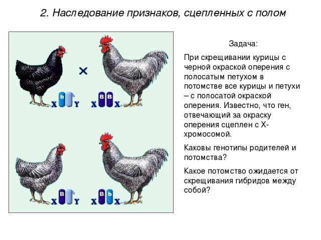 Задача: При скрещивании курицы с черной окраской оперения с полосатым петухом в потомстве все курицы и петухи – с полосатой окраской оперения. Известно, что ген, отвечающий за окраску оперения сцеплен с Х-хромосомой. Каковы генотипы родителей и пото…