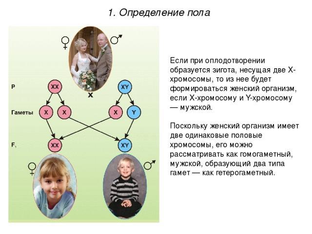 Если при оплодотворении образуется зигота, несущая две Х-хромосомы, то из нее будет формироваться женский организм, если Х-хромосому и Y-хромосому — мужской. Поскольку женский организм имеет две одинаковые половые хромосомы, его можно рассматривать …