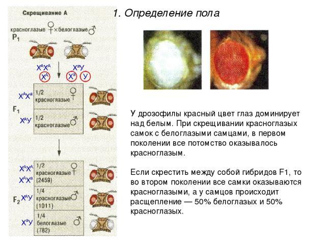 У дрозофилы красный цвет глаз доминирует над белым. При скрещивании красноглазых самок с белоглазыми самцами, в первом поколении все потомство оказывалось красноглазым. Если скрестить между собой гибридов F1, то во втором поколении все самки оказыва…