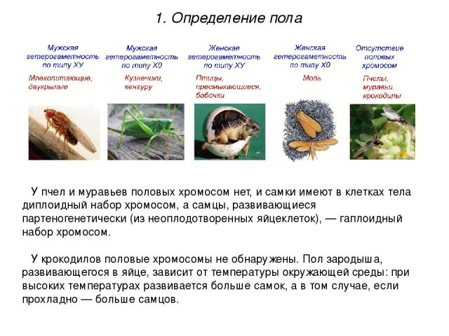 У пчел и муравьев половых хромосом нет, и самки имеют в клетках тела диплоидный набор хромосом, а самцы, развивающиеся партеногенетически (из неоплодотворенных яйцеклеток), — гаплоидный набор хромосом. У крокодилов половые хромосомы не обнаружены. П…