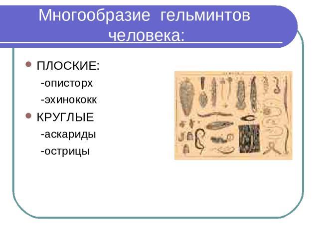 Многообразие гельминтов человека: ПЛОСКИЕ: -описторх -эхинококк КРУГЛЫЕ -аскариды -острицы