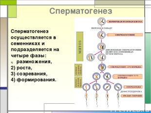 Cперматогенез Сперматогенез осуществляется в семенниках и подразделяется на четы