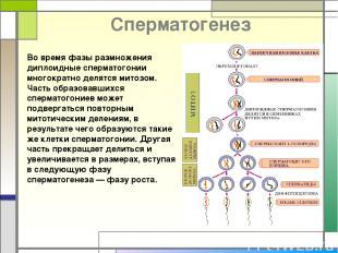 Cперматогенез Во время фазы размножения диплоидные сперматогонии многократно дел