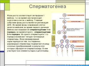 Cперматогенез Фаза роста соответствует интерфазе 1 мейоза, т.е. во время нее про