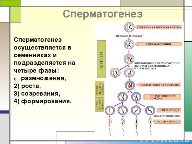 Cперматогенез Сперматогенез осуществляется в семенниках и подразделяется на четыре фазы: размножения, 2) роста, 3) созревания, 4) формирования.