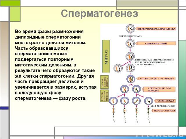 Cперматогенез Во время фазы размножения диплоидные сперматогонии многократно делятся митозом. Часть образовавшихся сперматогониев может подвергаться повторным митотическим делениям, в результате чего образуются такие же клетки сперматогонии. Другая …