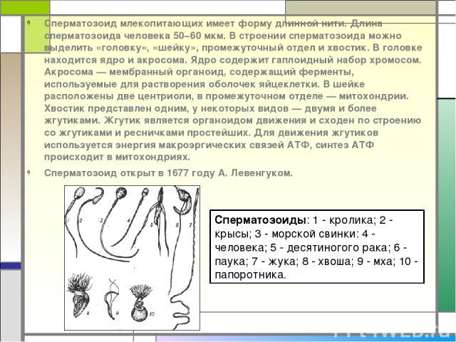 Сперматозоид млекопитающих имеет форму длинной нити. Длина сперматозоида человека 50–60 мкм. В строении сперматозоида можно выделить «головку», «шейку», промежуточный отдел и хвостик. В головке находится ядро и акросома. Ядро содержит гаплоидный наб…