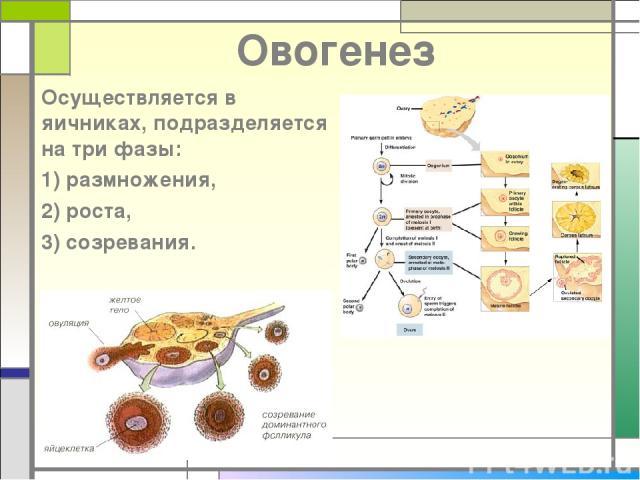 Овогенез Осуществляется в яичниках, подразделяется на три фазы: 1) размножения, 2) роста, 3) созревания.