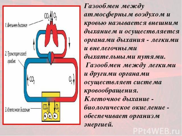 Газообмен между атмосферным воздухом и кровью называется внешним дыханием и осуществляется органами дыхания - легкими и внелегочными дыхательными путями. Газообмен между легкими и другими органами осуществляет система кровообращения. Клеточное дыхан…