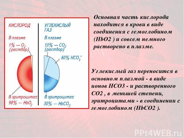 Основная часть кислорода находится в крови в виде соединения с гемоглобином (HbO2 ) и совсем немного растворено в плазме. Углекислый газ переносится в основном плазмой - в виде ионов НСО3 - и растворенного СО2 , в меньшей степени, эритроцитами - в с…